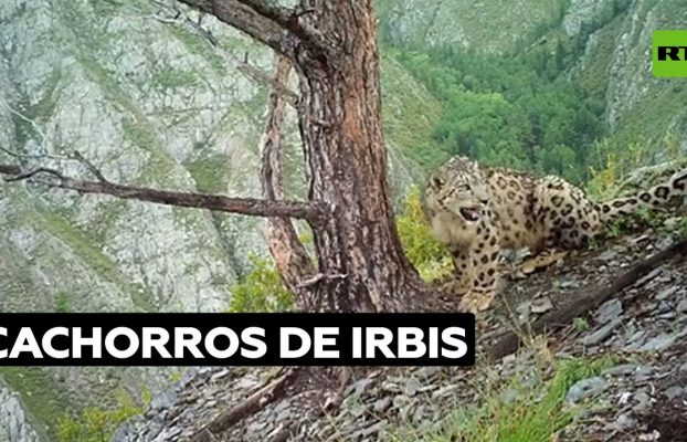 Dos crías de leopardo de las nieves son captadas por una cámara instalada en una reserva natural