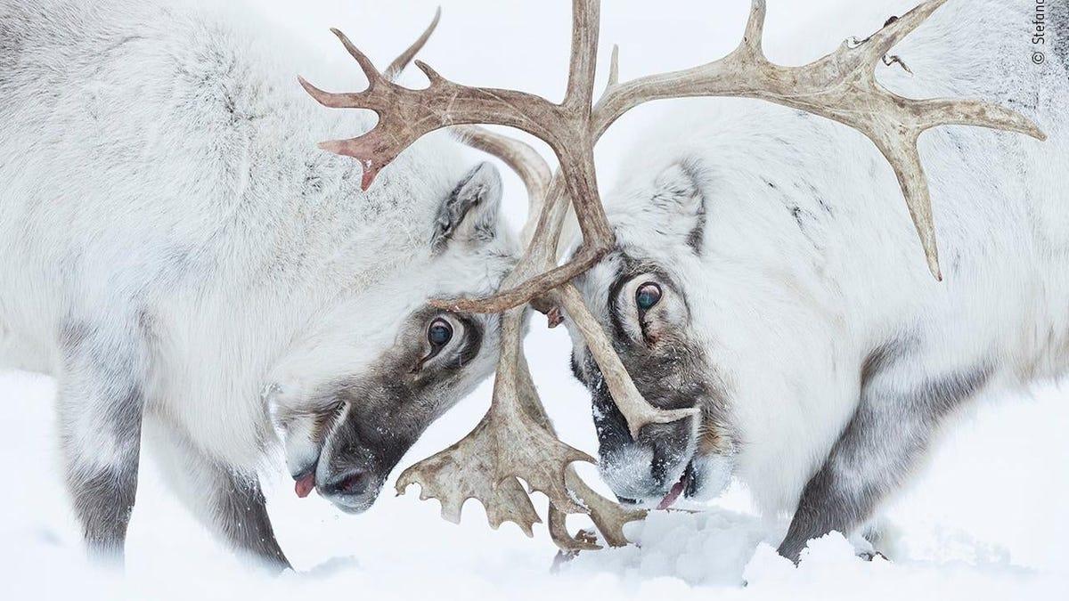 Estas son las imágenes ganadoras del Wildlife Photographer of the Year 2021