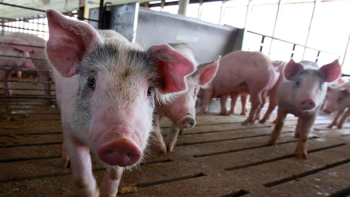 Consiguen trasplantar por primera vez el riñón de un cerdo a un humano