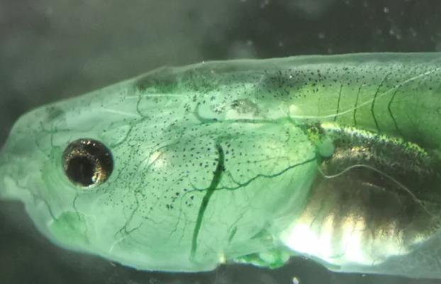Logran oxigenar el cerebro inyectándole algas