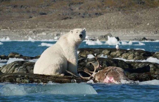 Capturan por primera vez a un oso polar comiendo un reno