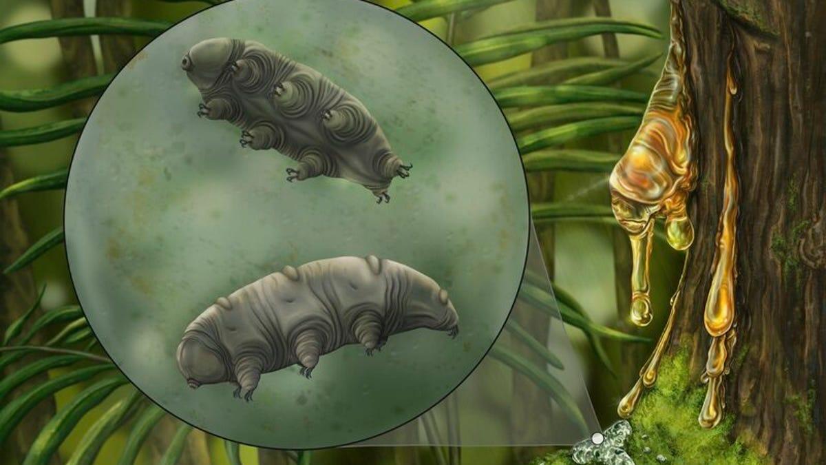 Hallan una nueva especie de tardígrado en un trozo de ámbar