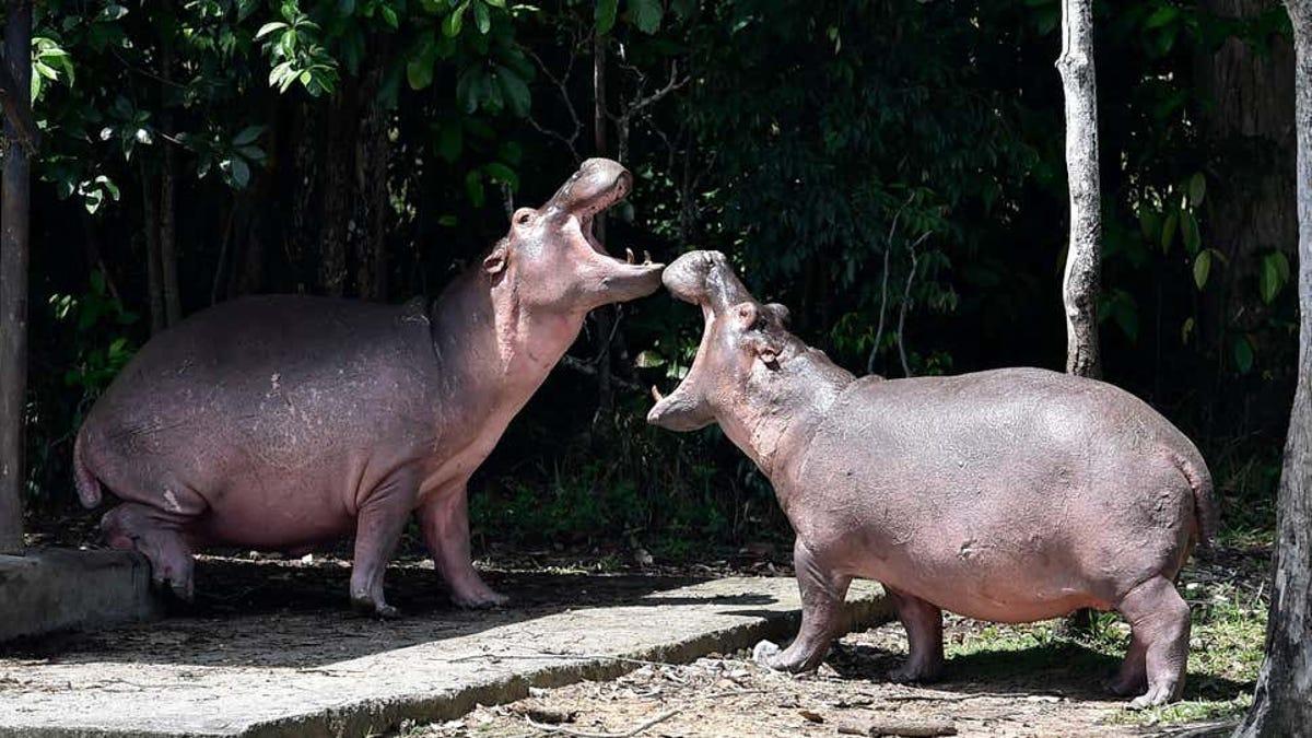 Los hipopótamos de Pablo Escobar son personas jurídicas