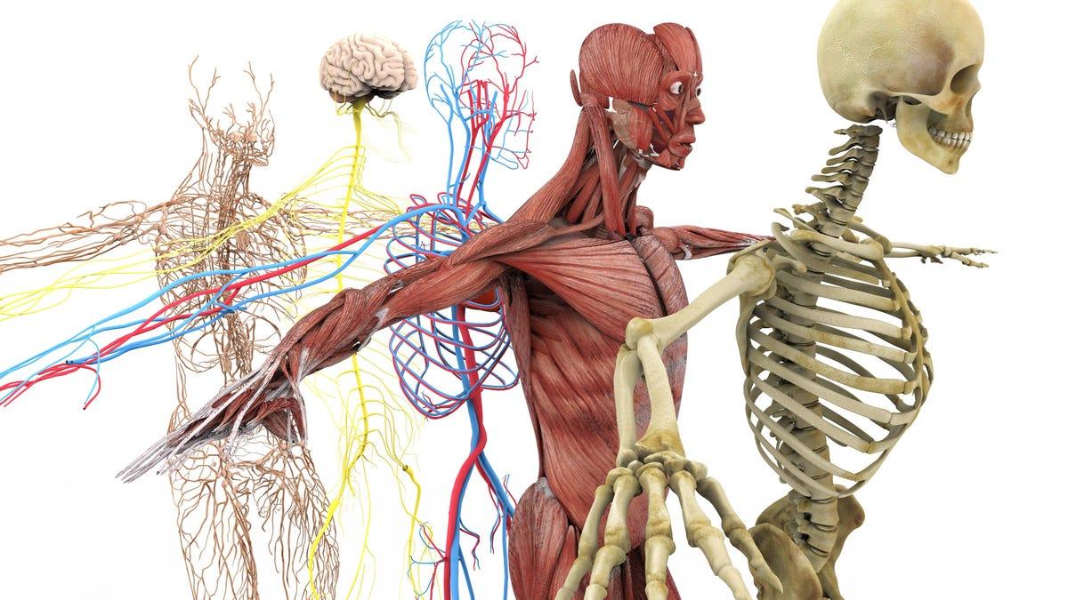 13 curiosos datos sobre el cuerpo humano que nunca habías oído