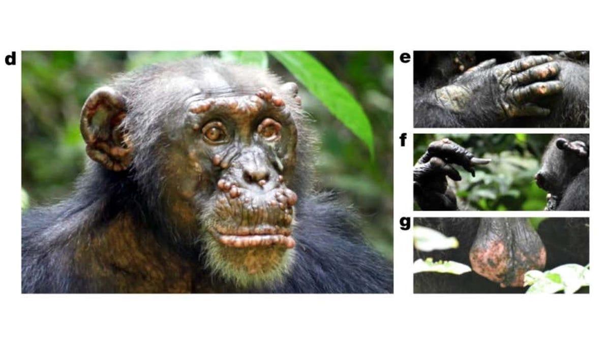 Identifican por primera vez lepra en chimpancés salvajes