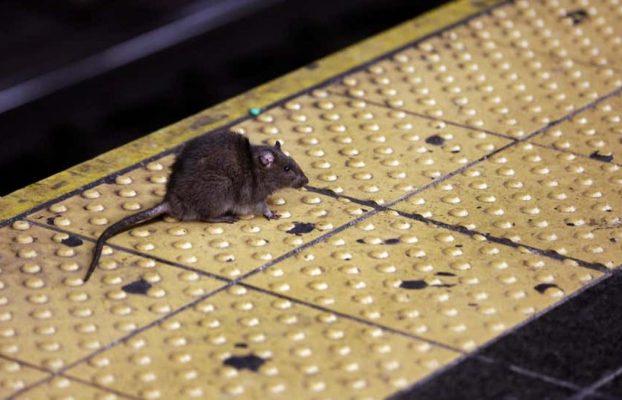 En Nueva York hay una enfermedad a través orina de rata