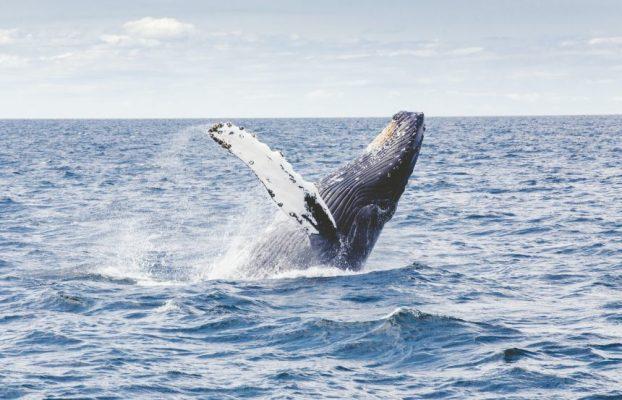 Las ballenas están construyendo sus posiciones sobre los derivados