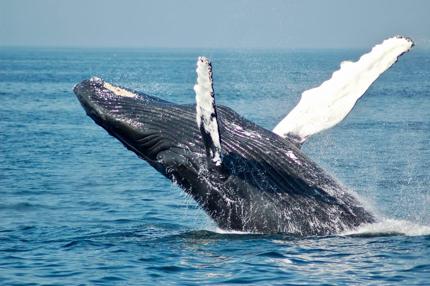 Las ballenas moviendo monedas insinúan la madurez de Bitcoin como activo macro